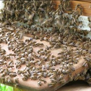 Warum kristallisiert der Honig? Hat der Imker was falsch gemacht?