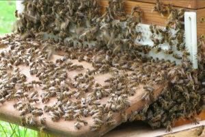 Warum kristallisiert der Bienenhonig und ist das ein Qualitätszeichen?