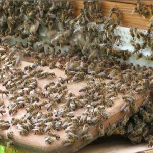 Warum kristallisiert der Bienenhonig?